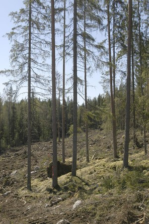 As to the forestry measures taken to safeguard biodiversity, leaving retention trees and especially large aspens has been beneficial for the biodiversity. Photo: Saku Ruusila